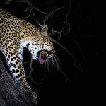 1a-leopard-by-night