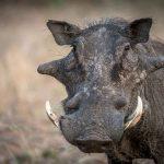 1b-warthog