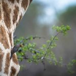 1c-giraffe