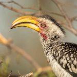 2b-hornbill-beak