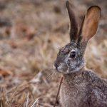 2c-scrub-hare