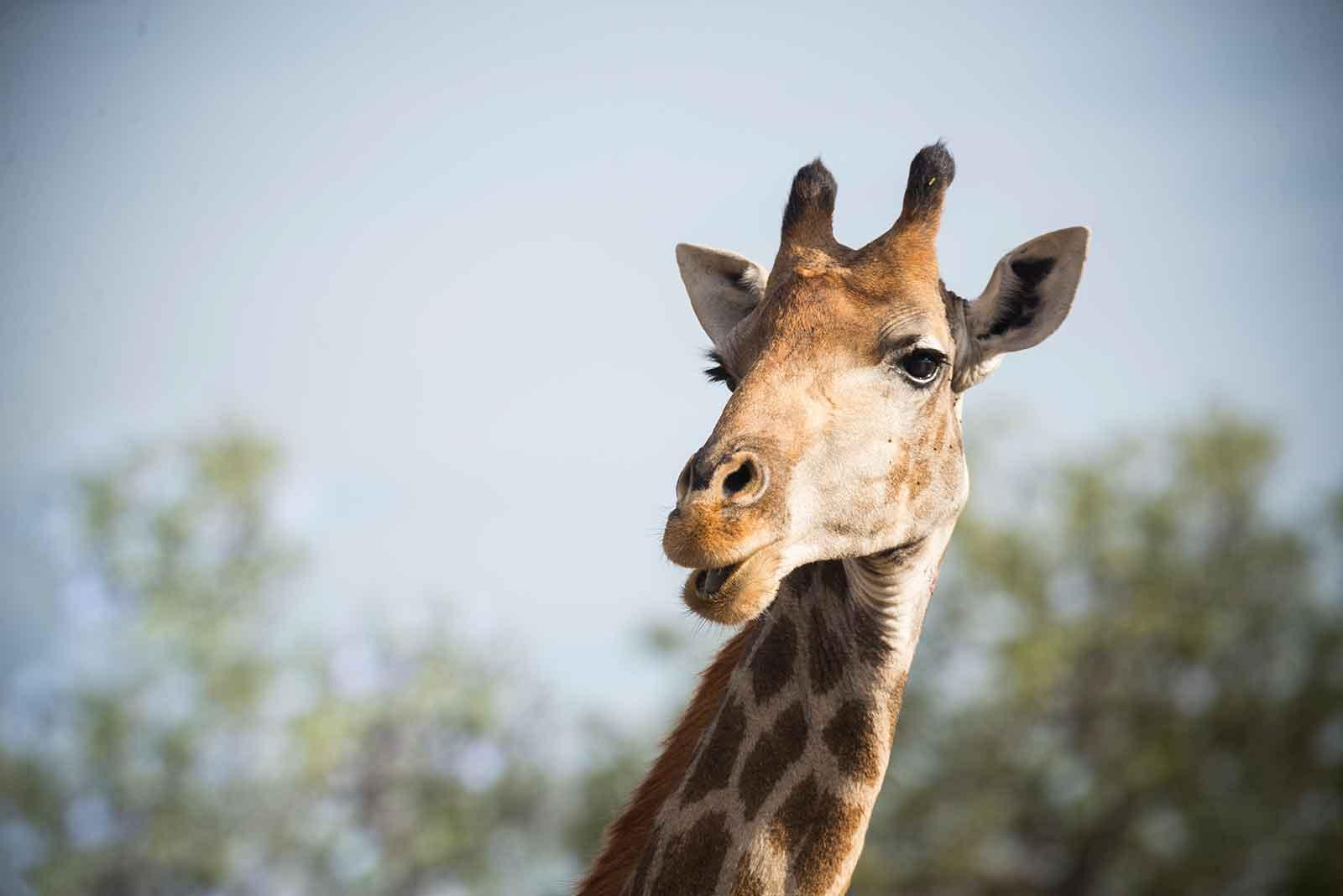 2e-giraffe